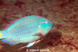 Stoplight Parrotfish with Shark Sucker attached on the Bi... by Michael Kovach 